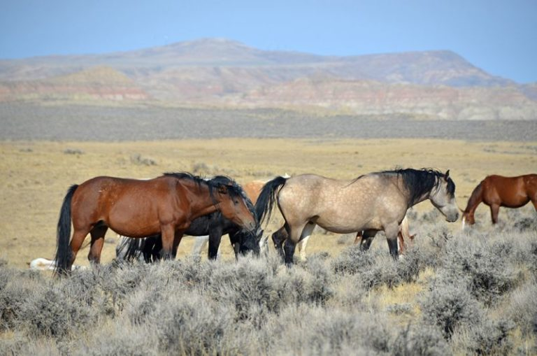 Mustangs on BLM land